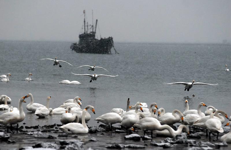 卜算子---白天鹅  和清淡 - wojuxiaoshe - wojuxiaoshe 的博客