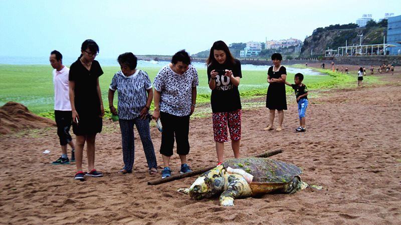 (原创)青岛台湾路海边发现死海龟 - 阿汪 - 阿汪的博客